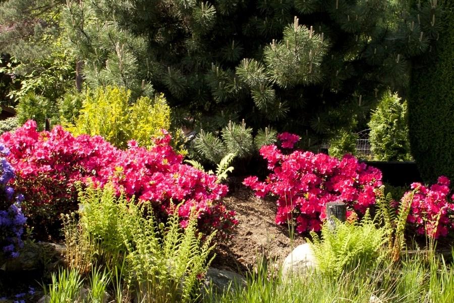 Różaneczniki i Azalie oraz ich uprawa w przydomowym ogrodzie.